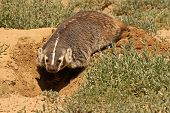 pic of badger  - A female American Badger digging out her den on the northern border of Colorado - JPG