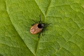 picture of ixodes  - Tick running on leaf to his victim - JPG