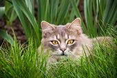 Gray Fluffy Cat Is Sitting In The Green Grass. Domestic Cat Is Sitting In The Garden. Domestic Cat H poster