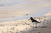 An Oystercatcher Walking Along On Bournemouth Beach poster