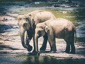 Elephants bathing in a river. Female elephant with cub. Sri lanka poster