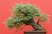 picture of centenarian  - beautiful Zelkova tree bonsai over red background - JPG