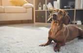 Smart Domesticated Dachshund Dog Wearing Glasses. It Is Looking Up With Curiosity While Lying On Car poster