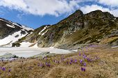 Постер, плакат: Springtime Scenery Of Frozen Lake Rugged Mountain Peaks In Background And Purple Crocuses In Foregr