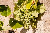 Immature And Crude Grape Vines, Bunch Of Unripe Green Grapes Closeup. Green Grapes Ripening In The S poster