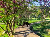 A Dog Walking Along A Path In The Park In Sunny Day. Spring Weather, Sunny Sky, Flowering Trees In T poster