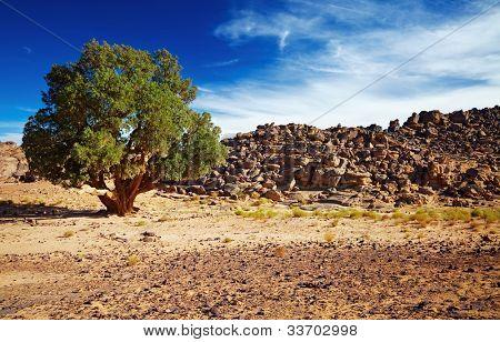 Saharan Cypress, very rare coniferous tree in Tassili N'Ajjer, Sahara Desert, Algeria