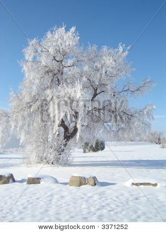 Snowy Tree1