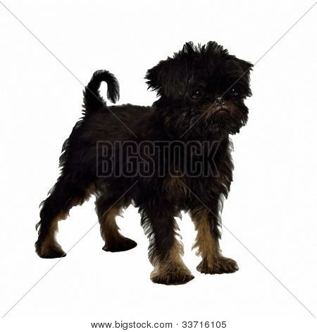 Griffon Bruxellois puppy 2 months old, isolated