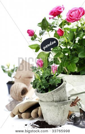 Beautiful pink roses in a flowerpots and garden tools  isolated on white