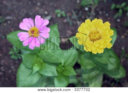 A Pink And A Yellow Flower With Large Green Leaves