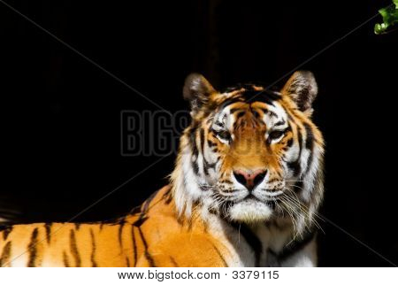 a Siberian tiger on a black background