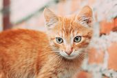 Cute Tabby Red Ginger Cat Sitting Outdoor In Summer Evening. poster