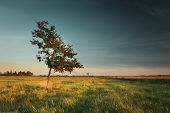 Lonely Deciduous Tree Growing In The Meadow, Evening Sky poster