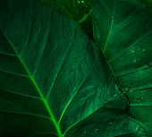 Green Leaf With Rain Drop In Jungle. Water Drop On Leaves. Green Leaf Texture Background With Minima poster