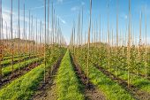 Endless Long Rows Of Young Trees Supported With Bamboo Sticks In A Dutch Tree Nursery. Strips Of Gra poster