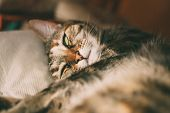 Sleepy Cat Portrait. Close Up View Of Tabby Cat Sleeping. Beautiful Short Haired Cat. Domestic Anima poster