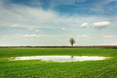 Puddle And Lonely Tree Without Leaves Growing On A Green Field And Clouds In The Sky - View On A Spr poster