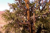 Bristlecone Pine Tree With Its Twisted Bark And Branches On A Rural Plateau Taken In The Rural White poster