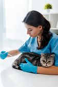 Attentive Veterinarian Making Injection To Tabby Scottish Straight Cat poster