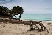 Old Dry Tree Growing Horizontally On The Beach. Another Trees Lining The Sandy Beach, Green Water Of poster