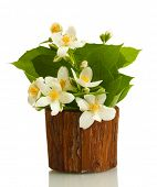 pic of jasmine  - beautiful jasmine flowers in flowerpot isolated on white - JPG