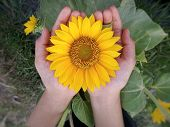 Flower In Hand Closeup. Big Sunflower Blossom In Open Hand. Yellow Flower In Young Girl Hand On Top  poster
