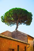 Italian Stone Pines Tree - Pinus Pinea - Behind Old Historical Building In Historic Center Of Rome,  poster