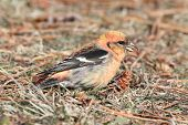 picture of crossbill  - White - JPG