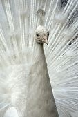 stock photo of peahen  - close up of white peafowl - JPG