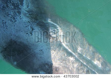 A curious gray whale under a boat