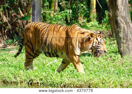 Tiger And Grassland