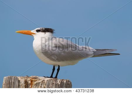 Wild Tern Estero Lagoon