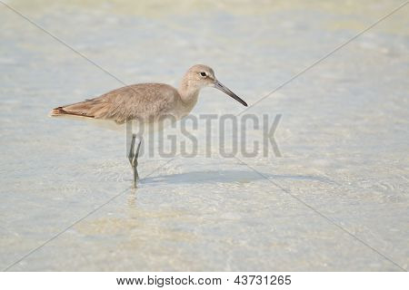 Willet On Beach (tringa Semipalmata)