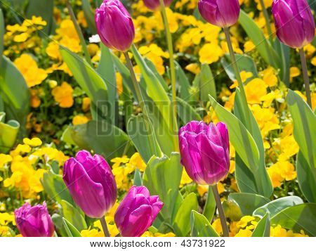 Pink Tulips And Yellow Pansies