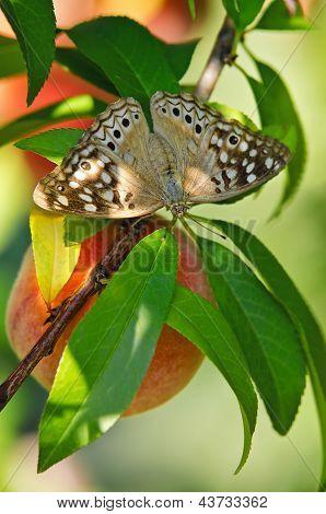 Hackberry emperador mariposa en melocotonero
