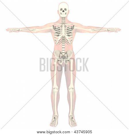 Transparent skeleton
