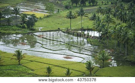 Water Buffalo Rice Fields Philippines