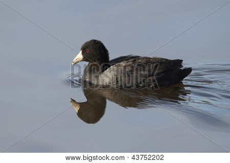American Coot - Texas
