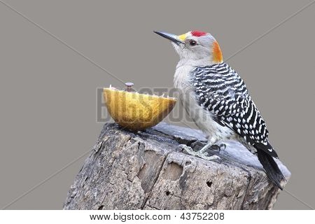 Golden-fronted Woodpecker - Texasd