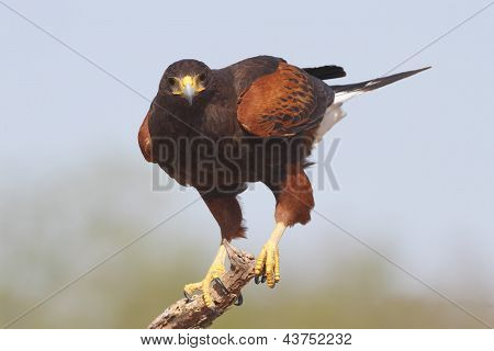Harris's Hawk - Texas
