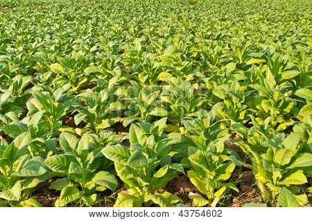 Tobacco plant farm