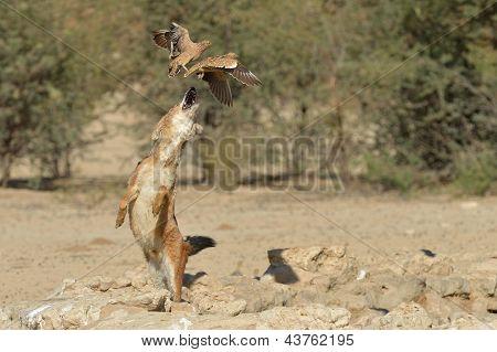 jackal leaping