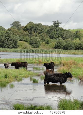 Cows Standing In A River