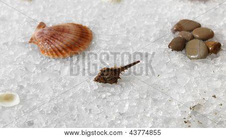Seashells On Ice