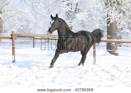 Dutch Warmblood Running In Winter