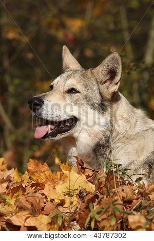 Saarloos Wolfhound Portrait