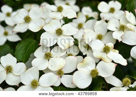 Eastern flowering dogwood or Cornus.