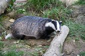 stock photo of badger  - Badger  - JPG