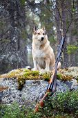 picture of laika  - Hound on the background of the forest and the gun  - JPG
